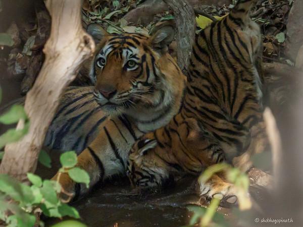 tiger photo safari