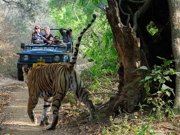 tiger photography tour